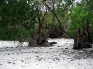 Mangrovieto