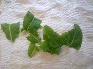 Rompere le foglie di erba amara per favorirne l'aromaticità